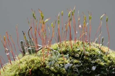 Moss sp. showing reproductive organs.
