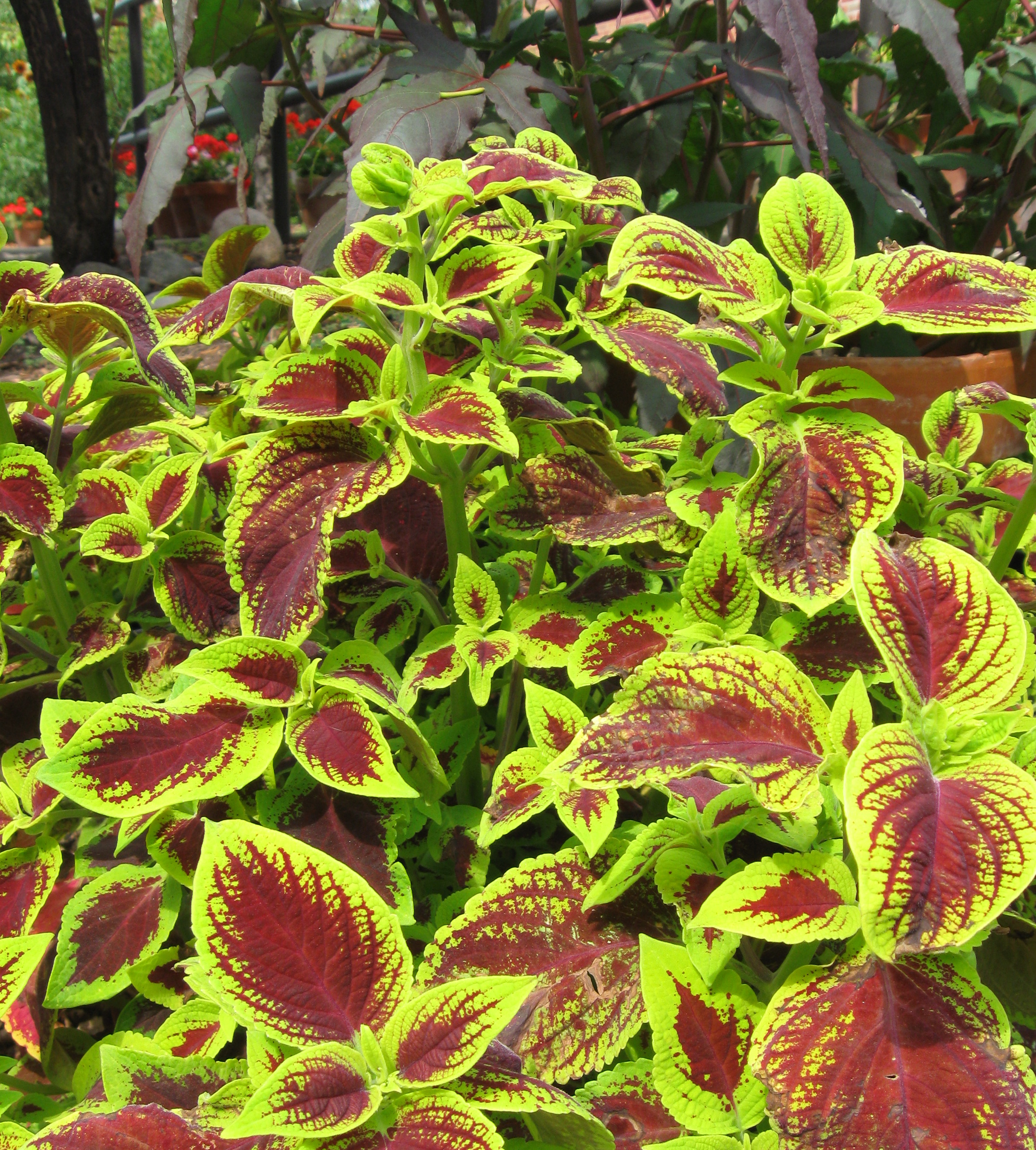a display of coleus plants with red leaves. colorful maroon coleus, Natural flower