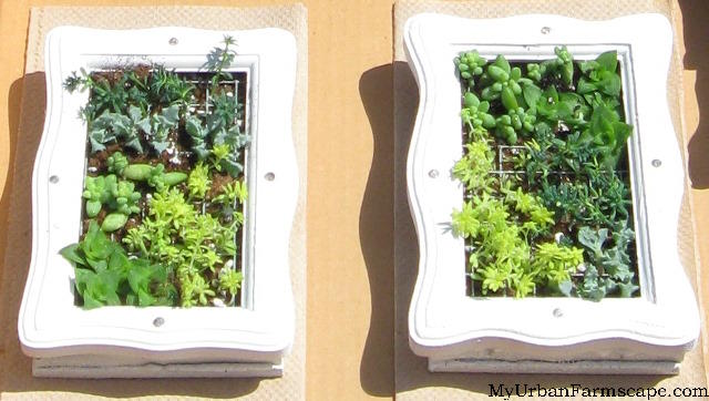 small succulent frames how to propagate succulents in 5 easy steps my urban farmscape