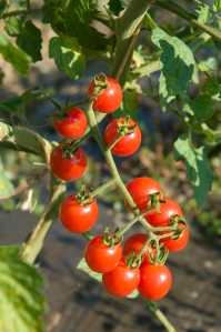 Tomato 'Jasper'photo courtesy AAS