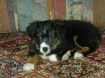Sidney as a pup